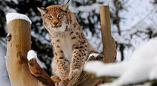 Luchs im winter, (c) Wildpark Wildbichl